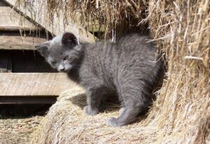 Young Barn Kitten Standing on Hay