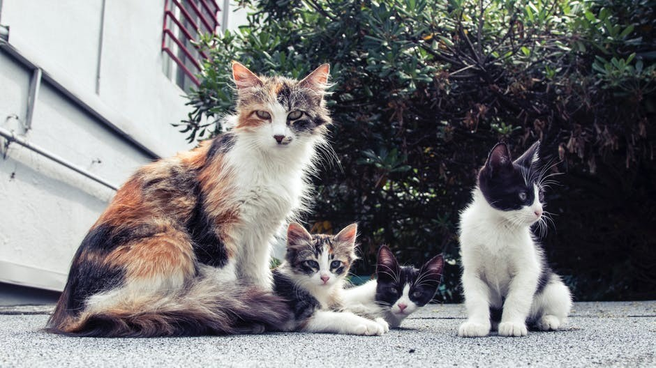 A Calico Mama Cat and Three Feral Kittens Who Need Socialized and Homes