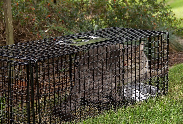 Tabby cat in a live animal trap used for TNR