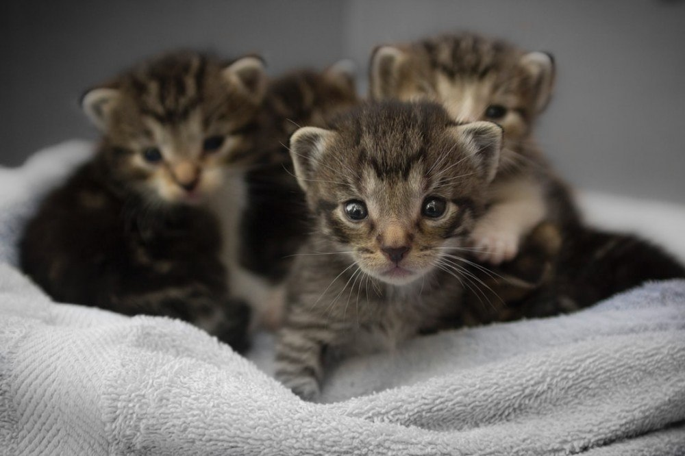 Litter of 4 Tabby Neonatal Kittens