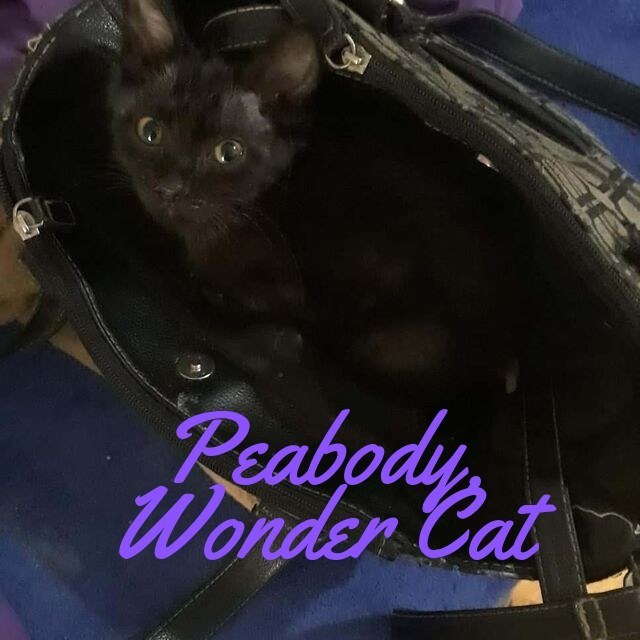 Peabody Wonder Cat