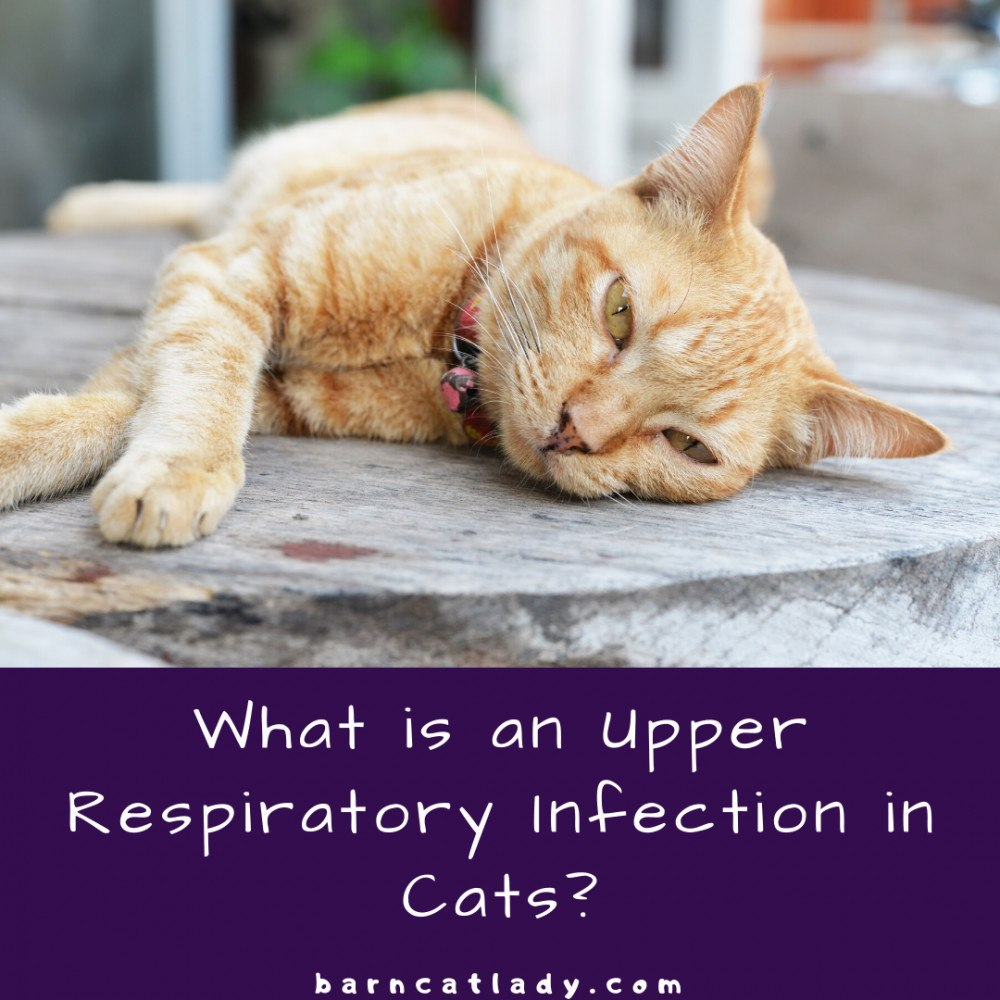 What is a Upper Respiratory Infection in Cats?