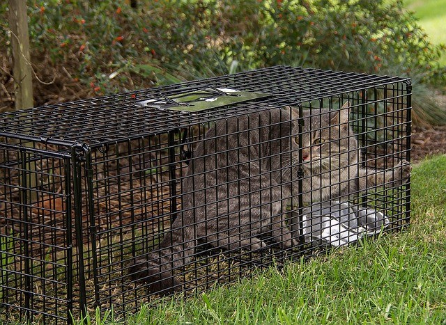 Tabby Cat Trapped for TNR by a volunteer