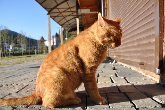 Orange Cat in the Sun