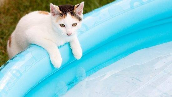 Calico kitten at the edge of the pool