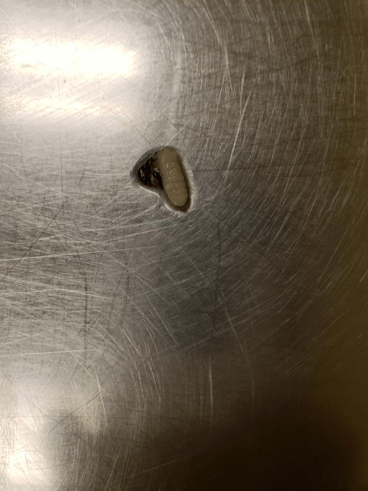 Bot fly larva found in a 3-week-old kitten.
