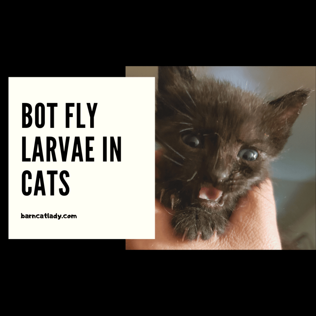 Bot Fly Larvae in Cats graphic.
