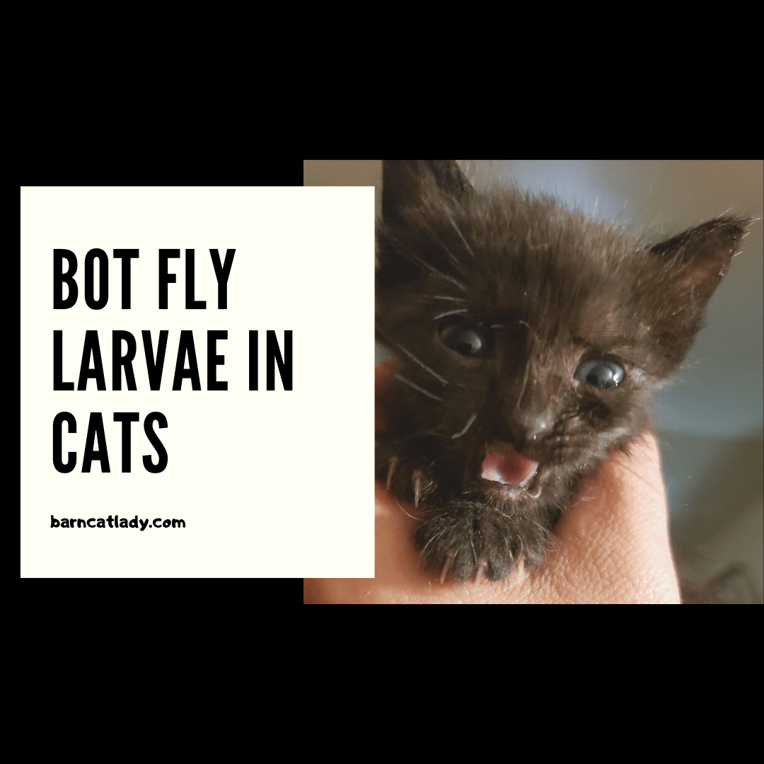 Bot Fly Larvae in Cats