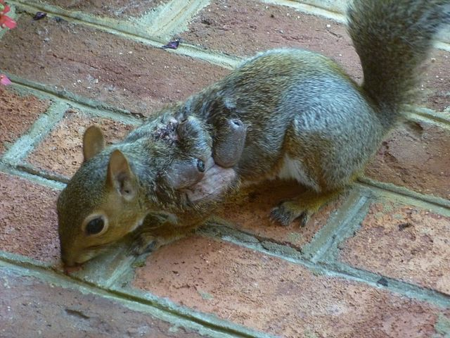 Eastern Gray Squirrel Suffering from Warbles
